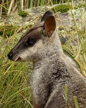 Brush-tailed Rock-wallaby, Petrogale penicillata © Philip Gleeson